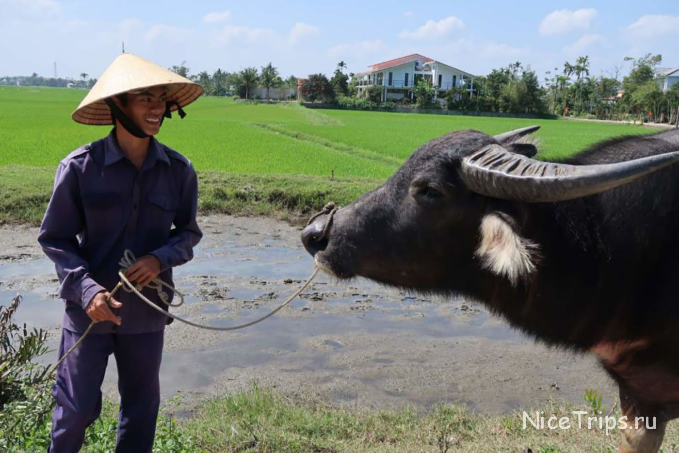 буйвол в Хойане
